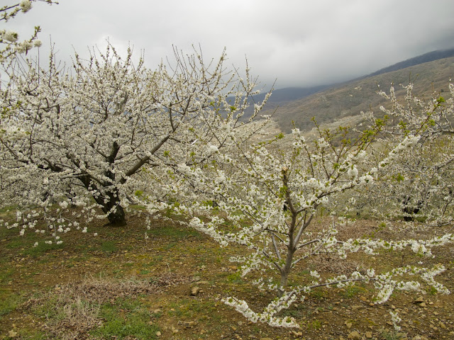 Una espectacular ruta para disfrutar de los famosos cerezos en flor.